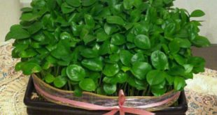 روش کاشت سبزه عید با تخمه کدو