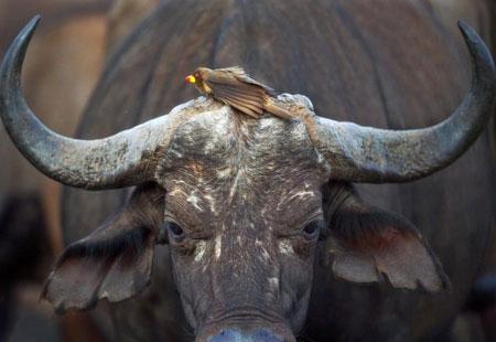 عکسهای جالب,تصاویر جالب,بوفالو