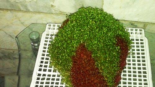آموزش کاشت سبزه دو رنگ,آموزش سبزه دو رنگ,کاشت سبزه دو رنگ