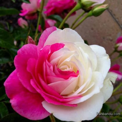 عکس گل رز هلندی سفید و سیاه و زیبا و قرمز عاشقانه ۱۴۰۰ و ۲۰۲۱