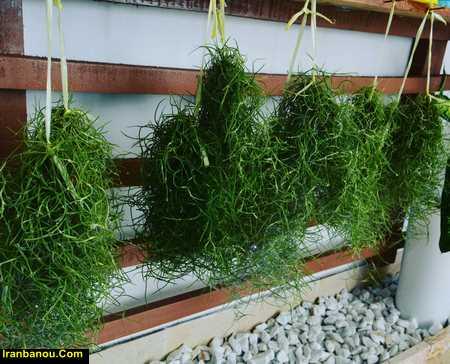 فروش گیاه هوازی در تهران