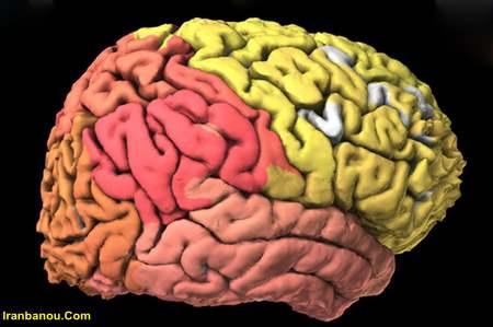 مراحل رشد مغز جنین