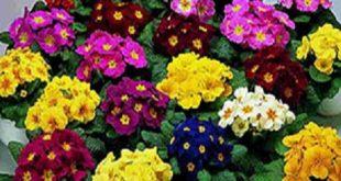 طرز نگهداری گل پامچال در اپارتمان
