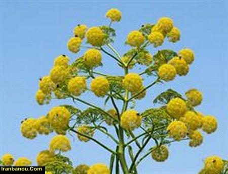 تحقیق در مورد گیاهان دارویی