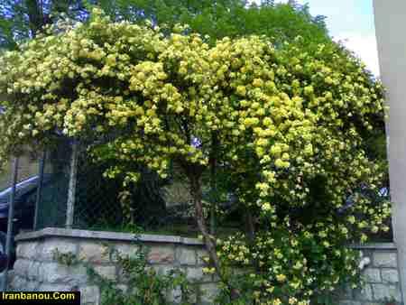 اسم انواع گل یاس