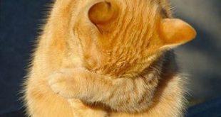 بی حال شدن گربه