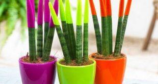 پرورش گیاه سانسوریا | روش های تکثیر و نگهداری
