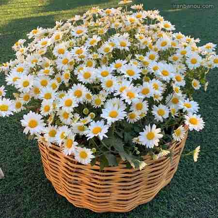 عکس گل زیبا برای پروفایل