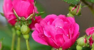 عکس گل آبي براي پروفايل