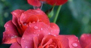 عکس پروفايل گل عاشقانه