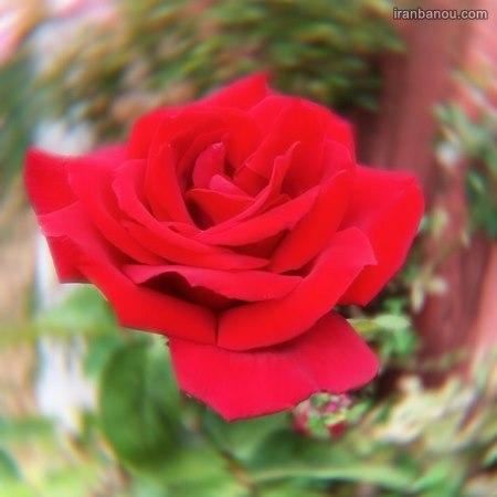 عکس گل رز مشکی برای پروفایل