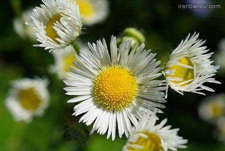 عکس پروفایل گلها