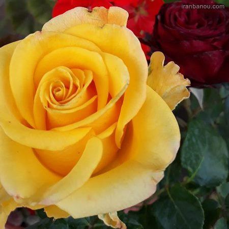عکس گل رز سفید و قرمز