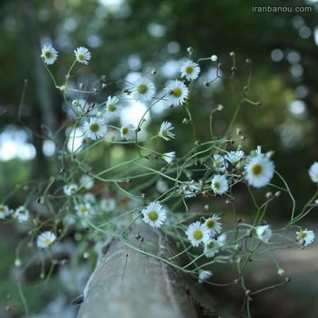 عکس گل عشق من