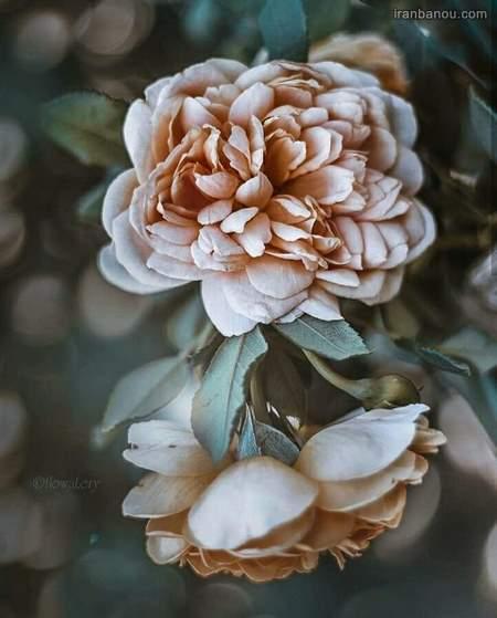عکس دختر با گل برای پروفایل