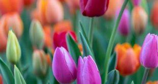 عکس گل رز سفيد هلندي