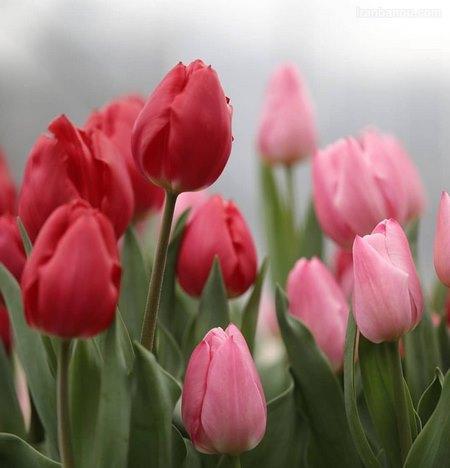 عکس گل رز آبی و قرمز