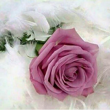 گل رز رونده